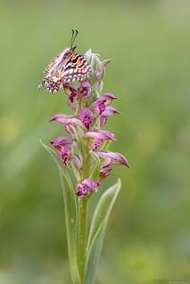 La mariposa y la orquídea