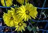 I FIORI COME LI VEDO IO....IN GABBIA  !!! (FRANCO600D) Tags: fioregiallo primavera petali giallo yellow fiori flowers spring recinto rete ragogna canon eos600d sigma franco600d