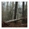 _57A2817 (ciollileach) Tags: woodland landscapephotography landscape sherwoodforest trees arboreal pines mist atmosphere beech copperbeech silverbirch