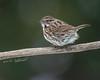 Song Sparrow (Bill McDonald 2016) Tags: sparrow song migrant ontario 2018 perched perching perch branch billmcdonald avian spring april wwwtekfxca grenfellweeblycom