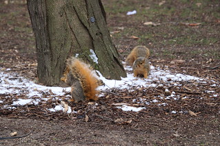Squirrels On a Snowy Spring Day in Ann Arbor at the University of Michigan (April 17th, 2018)