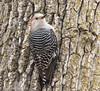 Red-bellied Woodpecker (rdroniuk) Tags: birds woodpecker smallbirds redbelliedwoodpecker passerines woodpeckers oiseaux pic picàventreroux melanerpescarolinus redbelliedwoodpeckerfemale