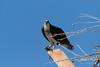Female Osprey keeping watch on an intruder (TonysTakes) Tags: osprey hawk firestone weldcounty wildlife colorado coloradowildlife bird raptor