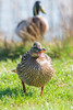 Angry Duck (Vinny Burns) Tags: 2018 5dmk3 hickslodge bird duck 5d3 5dmkiii mkiii 5dmarkiii vinnyburns ef70200mmf28lisusmmk2 eos canon 2xconverter moira england unitedkingdom gb