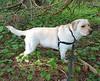 Gracie standing in sun and shade (walneylad) Tags: gracie dog canine pet puppy cute lab labrador labradorretriever april spring morning westlynn