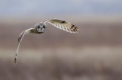 Short-eared owl (Andy Davis Photography) Tags: asioflammeus shortearedowl owl hunting quartering flying backlit spring marsh canon