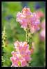 20180311-161412-A99 (YKevin1979) Tags: flower floral flora 花 sony slt a99 slta99v alpha minolta af 100300mm 100300 f4556 apo minoltaaf100300mmf4556apod minoltaaf1003004556apod
