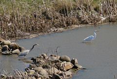 heron & egret (foxtail_1) Tags: panasoniclumixg85 panasonicg85 ardeaherodias greatblueheron ardeaalba greategret egret heron