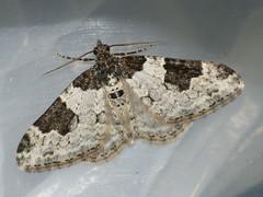 Xanthorhoe fluctuata - Garden carpet - Ларенция обыкновенная (Cossus) Tags: geometridae larentiinae xanthorhoe пяденица 2009 можайский
