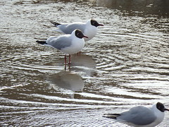 Ripple Gulls (Glass Horse 2017) Tags: ripples larusridibundus blackheadedgull summerplumage reflection icywater inlet rivertees stockton teesside
