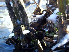 Growth (Cathi Kater) Tags: ice water river spring offspring graft growth