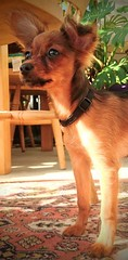 Edie, my Russian Toy puppy. (angieodette) Tags: russiantoy cutedog
