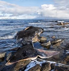 A stranded whale in Lofoten (Håkon Kjøllmoen, Norway) Tags: 2018 ferie håkonkjøllmoen kval mars påske røst kv heimdal død hval hvalkadaver