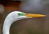 The Mating Colors (Darts5) Tags: ef100400mmlll egret egrets whitebird whiteheron wadingbird lore greenlore greategret greategrets 7d2 7dmarkll 7dmarkii 7d2canon closeup canon7d2 canon7dmarkll canon7dmarkii canon canonef100400mmlii animal