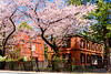 Cherry blossoms in Tokyo University of the Arts (Dakiny) Tags: 2018 spring march japan tokyo taitoaward uenodakuragi city street nikon d750 nikonclubit
