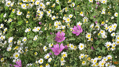 Wildflowers of April... (Κώστας Καϊσίδης) Tags: april wildflowers flowers spring attica penteli greece hellas scenery scene nature outdoor colours colors