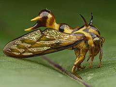 Wasp Mimicking Treehopper, Heteronotus vespiformis, Membracidae (Eerika Schulz) Tags: wasp mimicking treehopper heteronotus vespiformis membracidae buckelzikade zikade cicada puyo ecuador focus stack eerika schulz