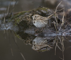 Reflecting On A Song Sparrow (AnthonyVanSchoor) Tags: sparrows point quad 39076b4 marylandbiodiversityproject marylandbirding melospiza melodia songsparrow reflection mirror water perfect birding bird birdphotography birdshare birdwatchingmagazine