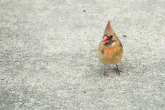 Inquisitive female Cardinal on my back porch (John Brighenti) Tags: bird birds cardinal female feathers rockville maryland rockvillemd sony sonyalpha sonyalpha7 sonya7 sel70300g ilce7