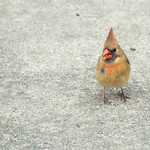 Inquisitive female Cardinal on my back porch thumbnail
