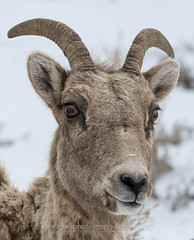 "Good Morning To ""Ewe"" (TNWA Photography (Debbie Tubridy)) Tags: gtnp tetons wyoming snow wildlife winter ewe bighorn sheep bighornsheep closeup portrait headshot face horns eyes ears nose fur animal mammal wild nature habitat environment behavior staring watching natural wilderness outdoors debbietubridy tnwaphotography"