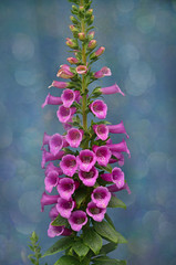 Digitalis purpurea. (Bessula) Tags: bessula nature garden flower summer bokeh pink coth5
