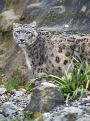 Another one of Villy (Tambako the Jaguar) Tags: snowleopard big wild cat uncia fluffy male portrait looking stones rocks vegetation zürich zoo switzerland nikon d5
