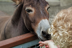 "Donkey love (Millie Cruz * ""On and Off-Busy"") Tags: donkey girl bronxzoo newyork zoo animal feeding hand tamron18400 candid people children"