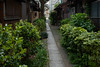 a tiger is coming into urban jungle (kasa51) Tags: alley implantation tenement shrubbery cat tokyo japan 路地 長屋 植え込み ねこ ネコ 猫