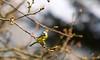 RSPB Blue Tit (Adam Swaine) Tags: tits bluetit birds britishbirds englishbirds gardenbirds rspb naturelovers nature seasons spring wildlife woodland england english britain canon uk beautiful peckhamryepark londonparks london naturewatcher