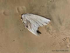 Ange déchu (JEAN PAUL TALIMI) Tags: jeanpaultalimi dunedupyla arcachon bassindarcachon talimi fenetre aile oiseaux sable solitude sudouest seul gironde
