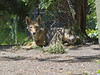 Akron Zoo 06-06-2014 - Coyote 4 (David441491) Tags: coyote canine akronzoo