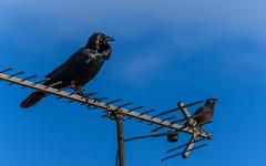 Raven and Common Myna Bird on Television Antenna (Merrillie) Tags: woywoy commonmyna nature australia birds inidanmynah newsouthwales animal raven myna wildlife bird animals fauna antenna nsw centralcoast