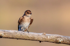 Northern Rough-winged Swallow (wn_j) Tags: birds birding wildlife wildanimals wildlifephotography nature naturephotography nationalwildliferefuge johnheinz johnheinznwr heinzwildlife heinz heinznwr swallow roughwingedswallow canon canon500mm canon1dxii