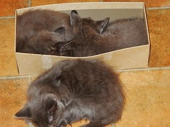 Three's a Crowd (mikecogh) Tags: seaton kittens fluffy box asleep siblings
