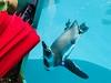 Curious penguin (jonarnefoss2013) Tags: iphoneonly sichuan chongqing china iphonex penguin
