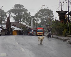 Bali Kintamani Road 20171201_130208 DSCN0175 (CanadaGood) Tags: asia seasia asean indonesia bali kintamani bangli building tree traffic animal dog motorcycle canadagood 2017 thisdecade color colour rain indonesian balinese vehicle