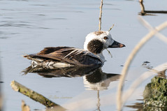 Long-tailed Duck - DEL_7923-LRwm (lawde13) Tags: longtailedduck clangulahyemalis