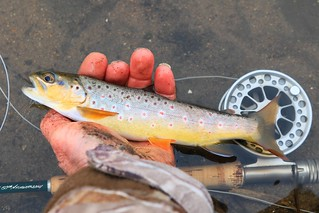 brown trout at Bohemian Creek in Ludwig Park IA 854A5370