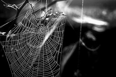 Spider webs in black and white (captainmorganme) Tags: spiderweb spider web webmaster blackandwhite bw bokeh