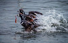 A Fish's Tale... (Selkii's Photos) Tags: birds britishcolumbia cloverpointpark duck harlequinduck histrionicushistrionicus vancouverisland victoria water bluestreak glacierduck lordsandladies mountainduck paintedduck rockduck totempoleduck whiteeyeddiver
