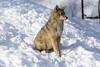_D6X1495 (pxr57) Tags: sainteannedebellevue québec canada ca coyote nikon d600 eco zoo
