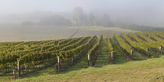 IMG_5716b (ManFromOz) Tags: ©geoffsmith gemaxphotographics mist vineyard suttonforest
