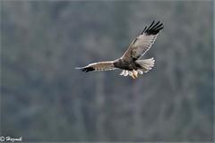 Marsh Harrier (m) (Knutsfordian) Tags: marsh harrier raptor marshes bird soaring quartering male circus aeruginosus