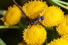 Red Passenger - _TNY_0764 (Calle Söderberg) Tags: macro canon canon5dmkii canoneos5dmarkii canonef100mmf28usmmacro flash meike mk300 glassdiffusor raynox dcr250 insect mite fly hoverfly renfana tansy tanacetum vulgare kompostblomfluga thickleggedhoverfly syritta pipiens eristalinae xylotini blomfluga syrphidae yellow thighs f22 5d2