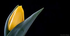 Simplicity (Kerstin Winters Photography) Tags: throughherlens black schwarz minimal minimalism simple simplicity detail yellow gelb nahaufnahme flickrnature flickr naturephotography naturfotografie macro closeup tulpen tulip