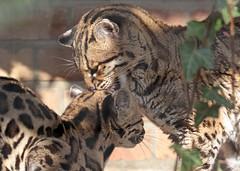 margay artis BB2A4085 (j.a.kok) Tags: margay kat cat mammal zoogdier artis animal dier predator southamerica zuidamerika margaycat feliswiedii