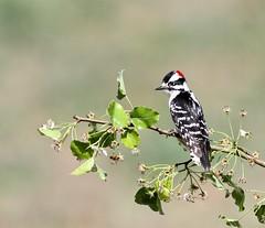 Downy Woodpecker (Rockytopk9) Tags: picoides pubescens