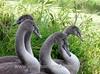 Four Cygnets (john shortland) Tags: muteswan cygnet wild birds riverexe beak