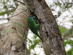 Psilopogon asiaticus (dhobern) Tags: 2018 china march xtbg xishuangbanna yunnan aves piciformes megalaimidae psilopogonasiaticus